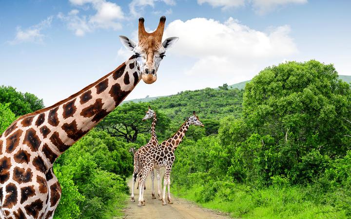 Giraffen im Krüger Nationalpark, Südafrika © jaroslava V / Shutterstock.com